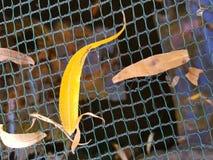 Folhas de outono na água Fotografia de Stock Royalty Free