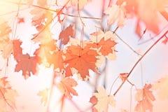 Folhas de outono na árvore Imagem de Stock Royalty Free