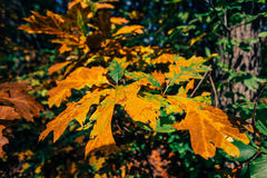 Folhas de outono na luz solar Foto de Stock Royalty Free