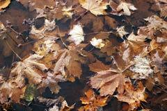 Folhas de outono na poça Folhas de plátano na água Fundo do outono Foto de Stock Royalty Free