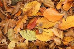 Folhas de outono na terra em madeiras de Bencroft em Hertfordshire, Reino Unido Fotos de Stock