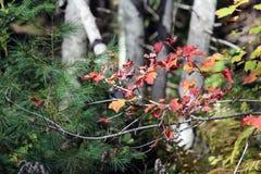 Folhas de outono nas madeiras Fotografia de Stock Royalty Free