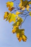 Folhas de outono no céu azul Fotografia de Stock Royalty Free
