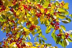 folhas de outono no fundo do céu azul Imagem de Stock Royalty Free