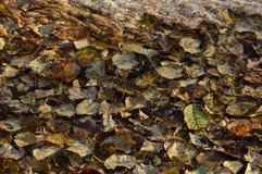 Folhas de outono no fundo natural da superfície da água Imagem de Stock Royalty Free