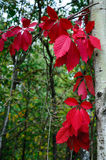 Folhas de outono no fundo vermelho da floresta imagens de stock royalty free