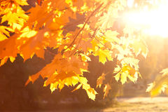 Folhas de outono no por do sol Imagem de Stock