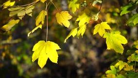 Folhas de outono no vento video estoque