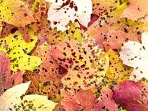 Folhas de outono perfuradas por insetos Fotografia de Stock Royalty Free