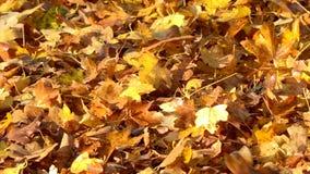 Folhas de outono que caem no outono colorido do movimento lento video estoque