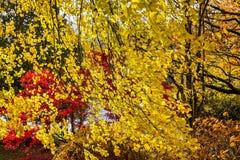 Folhas de outono retroiluminadas de amarelos dourados, de laranja, de vermelhos e de marrom imagem de stock royalty free