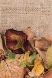 Folhas de outono secadas Fotografia de Stock