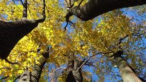 Folhas de outono de uma bordo-árvore video estoque