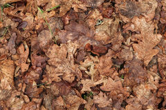 Folhas de outono velhas Textura do fundo Imagem de Stock
