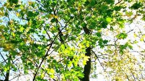 Folhas de outono verdes coloridas no vento vídeos de arquivo