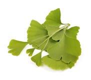 Folhas de outono verdes do biloba da nogueira-do-Japão Imagem de Stock Royalty Free