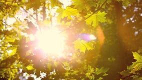 Folhas de outono verdes no sol da noite video estoque