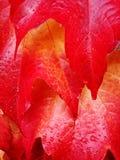 Folhas de outono vermelhas Foto de Stock Royalty Free