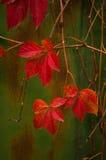 Folhas de outono vermelhas Fotografia de Stock