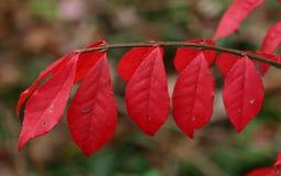 Folhas de outono vermelhas brilhantes no parque Fotos de Stock Royalty Free
