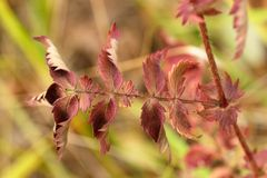 Folhas de outono vermelhas da grama do cinco-dedo Fotografia de Stock Royalty Free