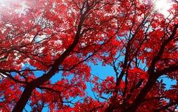 Folhas de outono vermelhas do salgueiro da flor sob o sol imagens de stock