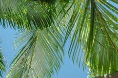 Folhas de palma Imagem de Stock