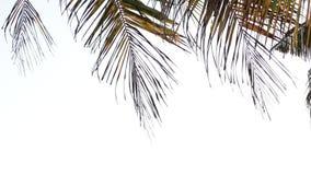 Folhas de palma que fundem pelo vento em um fundo branco filme