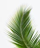 Folhas de palmeira Foto de Stock
