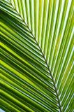 Folhas de palmeira imagem de stock