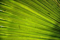 Folhas de palmeira Fotos de Stock Royalty Free