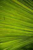 Folhas de palmeira Fotografia de Stock