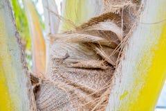 Folhas de palmeira amareladas em causas de sua hormona de planta imagem de stock