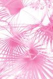 Folhas de palmeira cor-de-rosa de Washingtonia no fundo branco isolado Conceito da praia do ver?o Teste padrão mínimo do verão imagem de stock