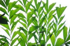 Folhas de palmeira da cauda dos peixes do Verdure foto de stock royalty free