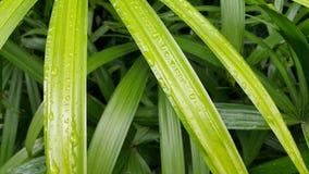 Folhas de palmeira de bambu com gota da água Foto de Stock Royalty Free