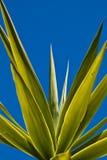 Folhas de palmeira de encontro a um céu azul Imagem de Stock