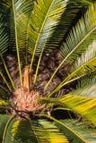Folhas de palmeira do sagu Imagem de Stock Royalty Free
