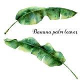 Folhas de palmeira exóticas da aquarela Ramo pintado à mão da banana Planta tropica isolada no fundo branco botanical ilustração stock