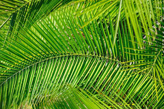 Folhas de palmeira (fundo) Imagens de Stock Royalty Free