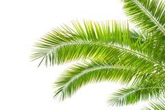 Folhas de palmeira isoladas no fundo branco fotografia de stock royalty free