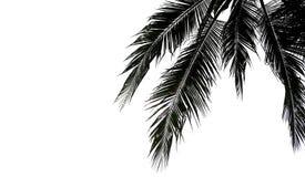 Folhas de palmeira isoladas no fundo branco fotos de stock