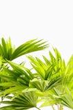Folhas de palmeira no fundo branco Fotografia de Stock Royalty Free