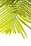 Folhas de palmeira que balanç na brisa Foto de Stock Royalty Free