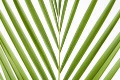 Folhas de palmeira Splayed Imagens de Stock Royalty Free
