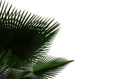 Folhas de palmeira tropicais da vista superior fotos de stock