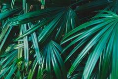 Folhas de palmeira tropicais, fundo Fotografia de Stock Royalty Free