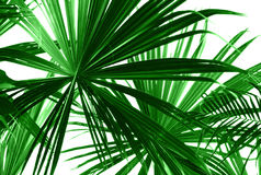 Folhas de palmeira verdes abstratas Fotografia de Stock
