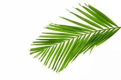 Folhas de palmeira verdes isoladas no fundo branco, trajeto de grampeamento dentro Imagem de Stock