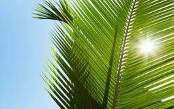 Folhas de palmeira verdes na luz do sol Imagem de Stock